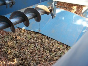 Hazelnuts being harvested.