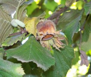 This is a hazelnut in the husk- a perfect addition to our presentation.