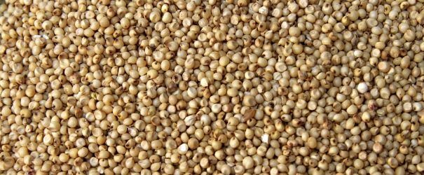 Jowar/Sorghum Grains
