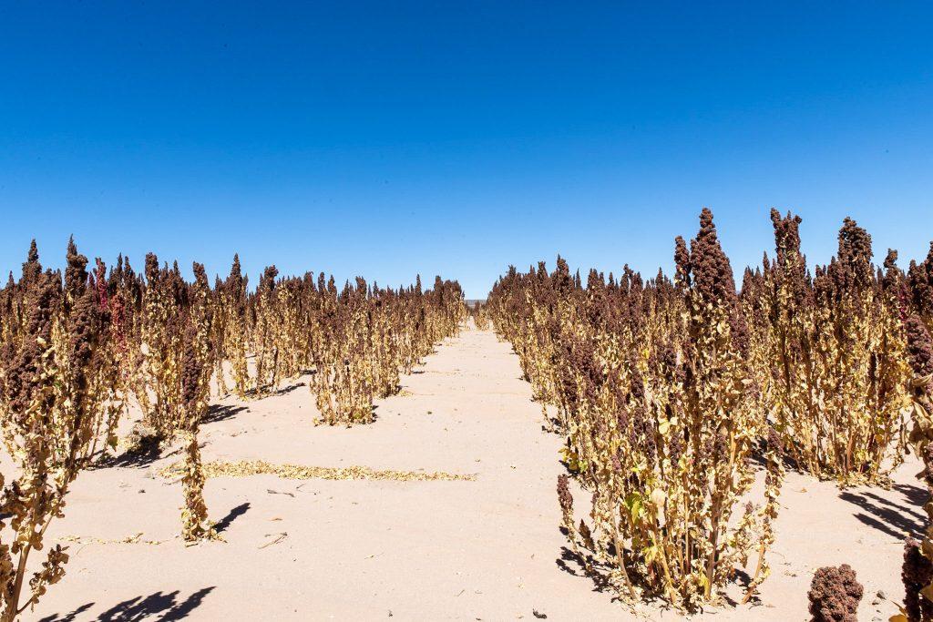 Champs de quinoa Bolivie &quot;width =&quot; 750 &quot;height =&quot; 500 &quot;/&gt;<p class=